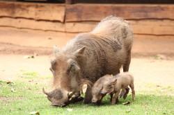 Warthog met jong
